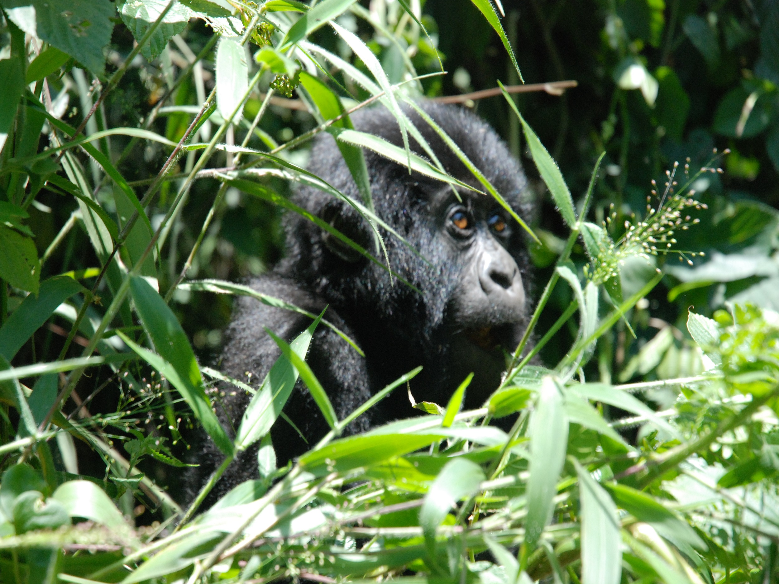 Gorillas | Africa Travel Co