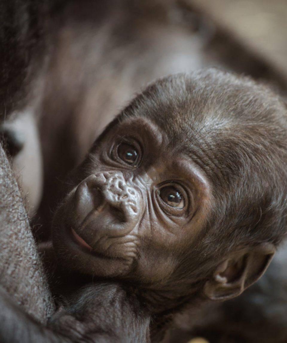 Baby of a  Western lowland gorilla