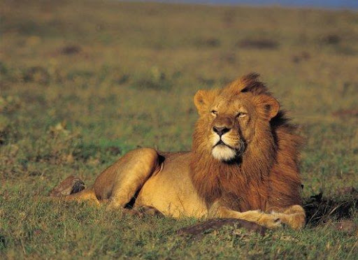 Africa's Big Five | The African Lion | Africa Travel Co