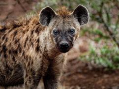 hyena | cheetah post