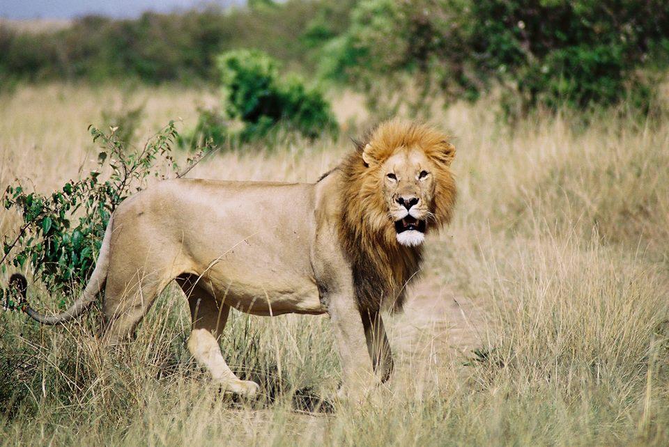 African lion | cheetah post