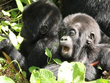 Mountain Gorillas | Great African Trek